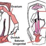 Sistem Reproduksi Seksual pada Hewan Vertebrata